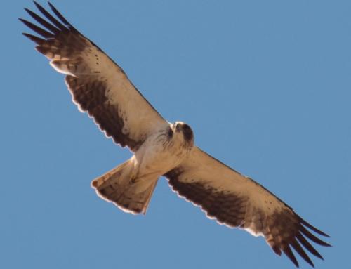 Mig any de sortides guiades per conèixer els ocells del Lluçanès